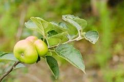 Tak van appelboom Stock Foto's