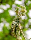 Tak van appelboom met bladeren door bladluis worden beïnvloed die stock afbeeldingen