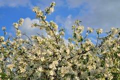 Tak van Apple-bloesems tegen een blauwe hemel Zonnige dag Stock Foto