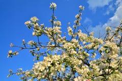Tak van Apple-bloesems tegen een blauwe hemel Zonnige dag Royalty-vrije Stock Afbeeldingen