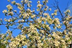 Tak van Apple-bloesems tegen een blauwe hemel Zonnige dag Royalty-vrije Stock Fotografie