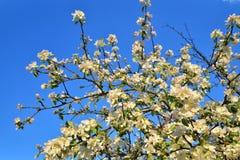 Tak van Apple-bloesems tegen een blauwe hemel Zonnige dag Stock Afbeeldingen