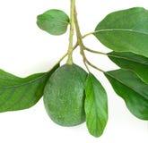 Tak van avocado Stock Afbeeldingen
