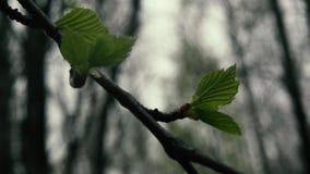Tak van berk met jonge bladeren Langzame Motie stock videobeelden