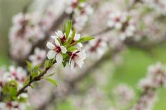 Tak van bloeiende amandelen in de lente Stock Foto's