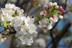 Tak van bloeiende boom Stock Afbeeldingen