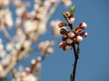 Tak van bloeiende boom, de lente Royalty-vrije Stock Afbeelding