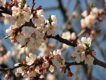 Tak van bloeiende boom, de lente Royalty-vrije Stock Afbeeldingen