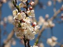 Tak van bloeiende boom, de lente Stock Afbeeldingen