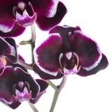 Tak van bloeiende donkere kers met witte randorchidee Stock Afbeelding