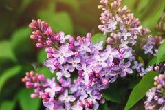 Tak van bloeiende lilac close-up royalty-vrije stock fotografie