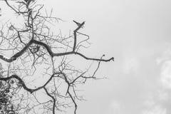 Tak van boom de hemel in zwart-wit Stock Foto