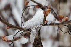 Tak van boom met droge oranje die bladeren, met sneeuw wordt behandeld stock foto