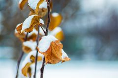 Tak van boom met droge oranje die bladeren, met sneeuw wordt behandeld De winter stock afbeeldingen