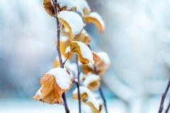 Tak van boom met droge oranje die bladeren, met sneeuw wordt behandeld De winter stock foto's
