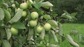 Tak van boom met groene appelen die in fruittuin rijpen stock video
