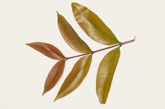 Tak van bruine groene kleurenbladeren op wit Royalty-vrije Stock Fotografie