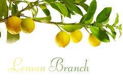 Tak van citroenvruchten, die op wit wordt geïsoleerd stock foto
