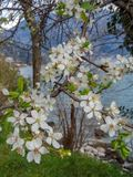 Tak van de bloesem de witte bloem tijdens de lente dichtbij het overzees royalty-vrije stock afbeeldingen