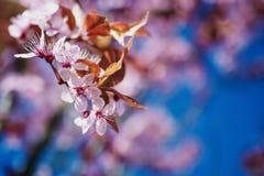Tak van de bloesems van de de lentekers, roze bloemen Stock Afbeeldingen