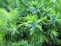 Tak van de Blueish de groene jeneverbes Royalty-vrije Stock Afbeeldingen
