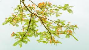 Tak van de boom met lichtgroene bladeren en rode bloem Stock Afbeeldingen