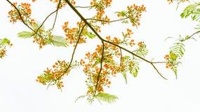 Tak van de boom met lichtgroene bladeren en rode bloem Royalty-vrije Stock Foto's