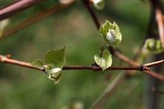 Tak van de de lente de tot bloei komende staaf Stock Fotografie