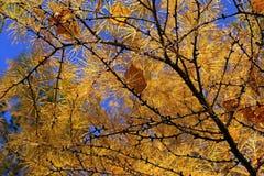 Tak van de herfstlariksen Stock Foto