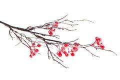 Tak van de Kerstmis de decoratieve sneeuw met hulstbes Stock Afbeelding