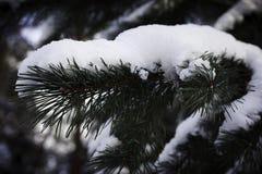 Tak van de spar in de sneeuw Stock Fotografie