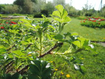 Tak van de struik met bladeren Sunny Orchard royalty-vrije stock foto