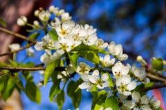Tak van de tot bloei komende close-up van de perenboom Royalty-vrije Stock Fotografie