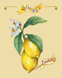 Tak van de verse citrusvruchtencitroen met groene bladeren en bloemen affiche Stock Afbeeldingen