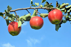Tak van een appelboom Stock Foto
