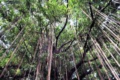 Tak van een banyan boom Stock Fotografie