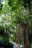 Tak van een banyan boom Royalty-vrije Stock Foto's
