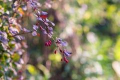 Tak van een berberisclose-up bij het zonlicht Royalty-vrije Stock Foto