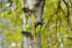 Tak van een bloeiende berkboom met nieuwe bladeren in de lente Stock Foto