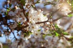 Tak van een bloeiende boom in warm zonlicht Royalty-vrije Stock Afbeelding