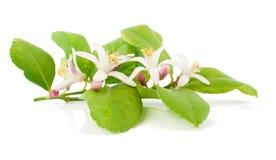 Tak van een citroenboom met bloemen Stock Foto's