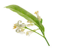 Tak van een citroenboom met bloemen op witte achtergrond worden geïsoleerd die Stock Foto's