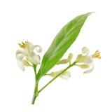 Tak van een citroenboom met bloemen op witte achtergrond worden geïsoleerd die Stock Foto