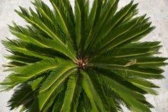 Tak van een groene dichtbegroeide palm Stock Afbeelding