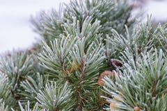 Tak van een naaldboom Stock Afbeeldingen