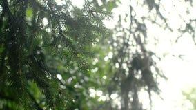 Tak van een naaldboom met dalingen van regen stock videobeelden