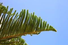 Tak van een naaldboom op een zonnige dag Royalty-vrije Stock Foto's
