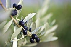 Tak van een olijfboom Royalty-vrije Stock Foto