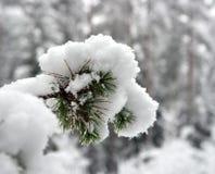 Tak van een pijnboom Royalty-vrije Stock Foto's