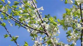 Tak van een pruimboom stock videobeelden